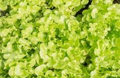 Zielona Dębowa sałata lub zieleni sałata dla diet zdrowie Obrazy Stock