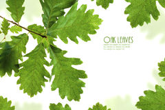 Zielona dębu liść rama Fotografia Royalty Free