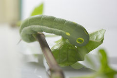 Zielona dżdżownica z liśćmi Obraz Royalty Free