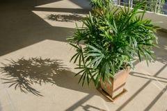 Zielona damy palma, bambus lub Fotografia Stock