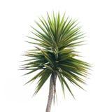 Zielona drzewko palmowe gałąź Fotografia Royalty Free