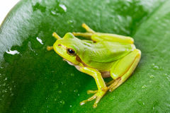 Zielona drzewna żaba na liściu Fotografia Royalty Free