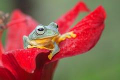 Zielona drzewna żaba przy wierzchołkiem czerwony kwiat fotografia royalty free