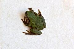 Zielona Drzewna żaba 01 Zdjęcia Royalty Free