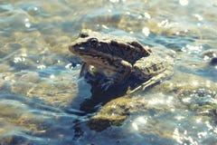 Zielona duża żaba w płytkim błyskotliwym wody zakończeniu up Obrazy Stock
