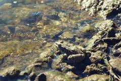 Zielona duża żaba w płytkim błyskotliwym wody zakończeniu up Zdjęcie Stock