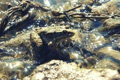 Zielona duża żaba w płytkim błyskotliwym wody zakończeniu up Zdjęcie Royalty Free