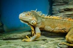 Zielona duża iguana z ostrą granią w Kijowskim zoo obrazy stock