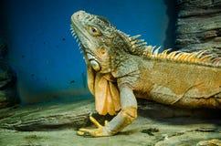 Zielona duża iguana z ostrą granią w Kijowskim zoo obrazy royalty free
