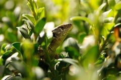 Zielona dzika jaszczurka chująca wśród krzaka leafs Mały gada zbliżenia widok Zdjęcia Stock