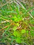 Zielona dzika trawa w naturze fotografia royalty free