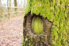 Zielona dziura w drzewie Obraz Royalty Free