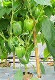 Zielona Dzwonkowego pieprzu roślina Zdjęcia Stock