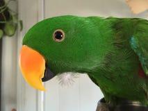 Zielona Eclectus papuga Zdjęcia Royalty Free