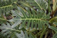 Zielona filodendron roślina Obrazy Royalty Free