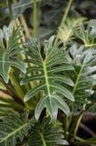 Zielona filodendron roślina w natura ogródzie Obrazy Stock