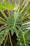 Zielona filodendron roślina w natura ogródzie Obrazy Royalty Free