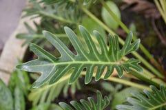 Zielona filodendron roślina w natura ogródzie Fotografia Stock