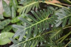 Zielona filodendron roślina w natura ogródzie Zdjęcie Royalty Free