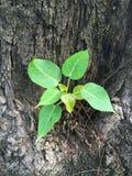 Zielona flanca na drzewie Obraz Stock