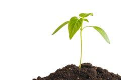Zielona flanca zasadza dorośnięcie od rozsypiska ziemia, odosobnionego na białym tle Ekologia i nadzieja obraz stock