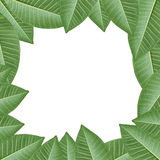 Zielona Frangipani liści rama dla projekta twój pracy backgroun Fotografia Stock