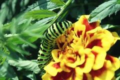 Zielona gąsienica na żółtym kwiatu zakończeniu up Zdjęcie Stock