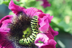 Zielona gąsienica na różowym kwiatu zakończeniu up Fotografia Stock