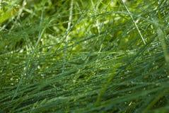 Zielona gęsta trawa zakrywająca z ranek rosą Fotografia Stock