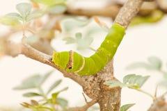 Zielona gąsienica Zdjęcia Stock