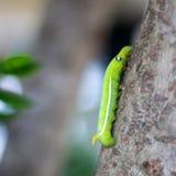 Zielona gąsienica Zdjęcie Stock