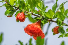Zielona gałąź granatowiec z jaskrawymi czerwonymi kwiatami fotografia royalty free