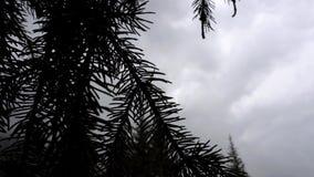 Zielona gałąź iglasty drzewo W tle ty możesz widzieć niebo, chmury, krajobraz zbiory wideo
