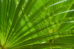 Zielona gałąź palma Zdjęcie Stock