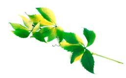 Zielona gałąź winogrona opuszcza (Parthenocissus quinquefolia folia Zdjęcie Stock