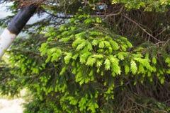 Zielona gałąź z świerkowymi pączkami Zdjęcia Stock