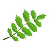 Zielona gałąź z liśćmi Obraz Royalty Free
