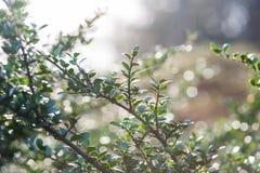 Zielona gałąź z liśćmi od krzaka Fotografia Royalty Free