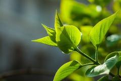 Zielona gałąź z nowymi liśćmi Obrazy Royalty Free