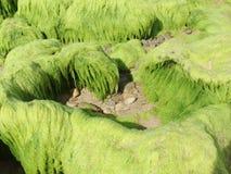 Zielona gałęzatki fotografia makro- obraz royalty free