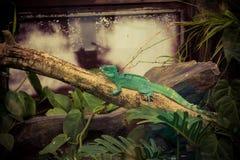 zielona gałęziasta jaszczurka Fotografia Stock