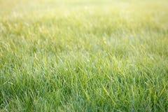 Zielona gazon trawa z światłem dziennym Zdjęcia Royalty Free