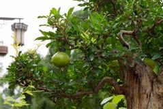Zielona granatowiec owoc na granatowów bonsai drzewie obraz stock