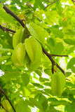 Zielona gwiazdowego jabłka owoc Zdjęcia Stock