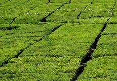 zielona herbata zdjęcia stock