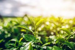 Zielona Herbata i Świeża liść herbata słońce błyszczy zdjęcia royalty free