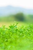 Zielona herbata i świezi liście obrazy stock