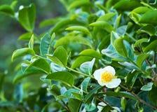 Zielona herbata kwiat Obraz Royalty Free