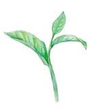Zielona herbata liść, akwarela ilustracja wektor