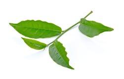Zielona herbata liść odizolowywający na białym tle Obraz Stock